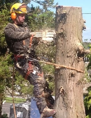 Neil at Skis Trees up a tree - cutting the trunk - Tree Surgeon Swindon