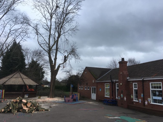Tree pruning & Trimming photo of tree showing branches removed by Skis Trees Tree Surgeon Swindon